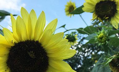 Farm Visit in Philadelphia   Sunflowers   Novick Urban Farm